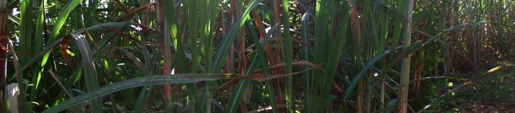 cana-irrigar