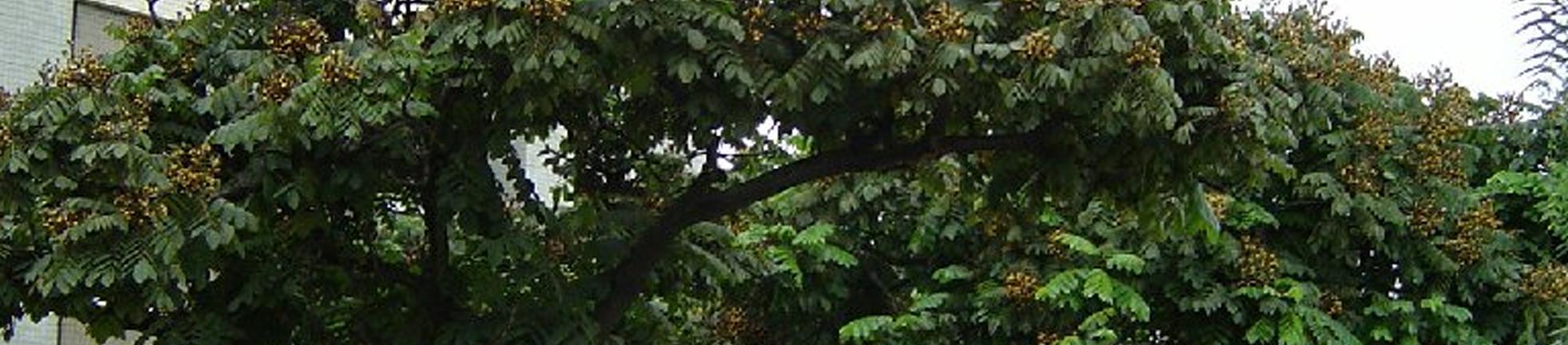 Fonte da imagem: http://arvores.brasil.nom.br/new/arariba/index.htm